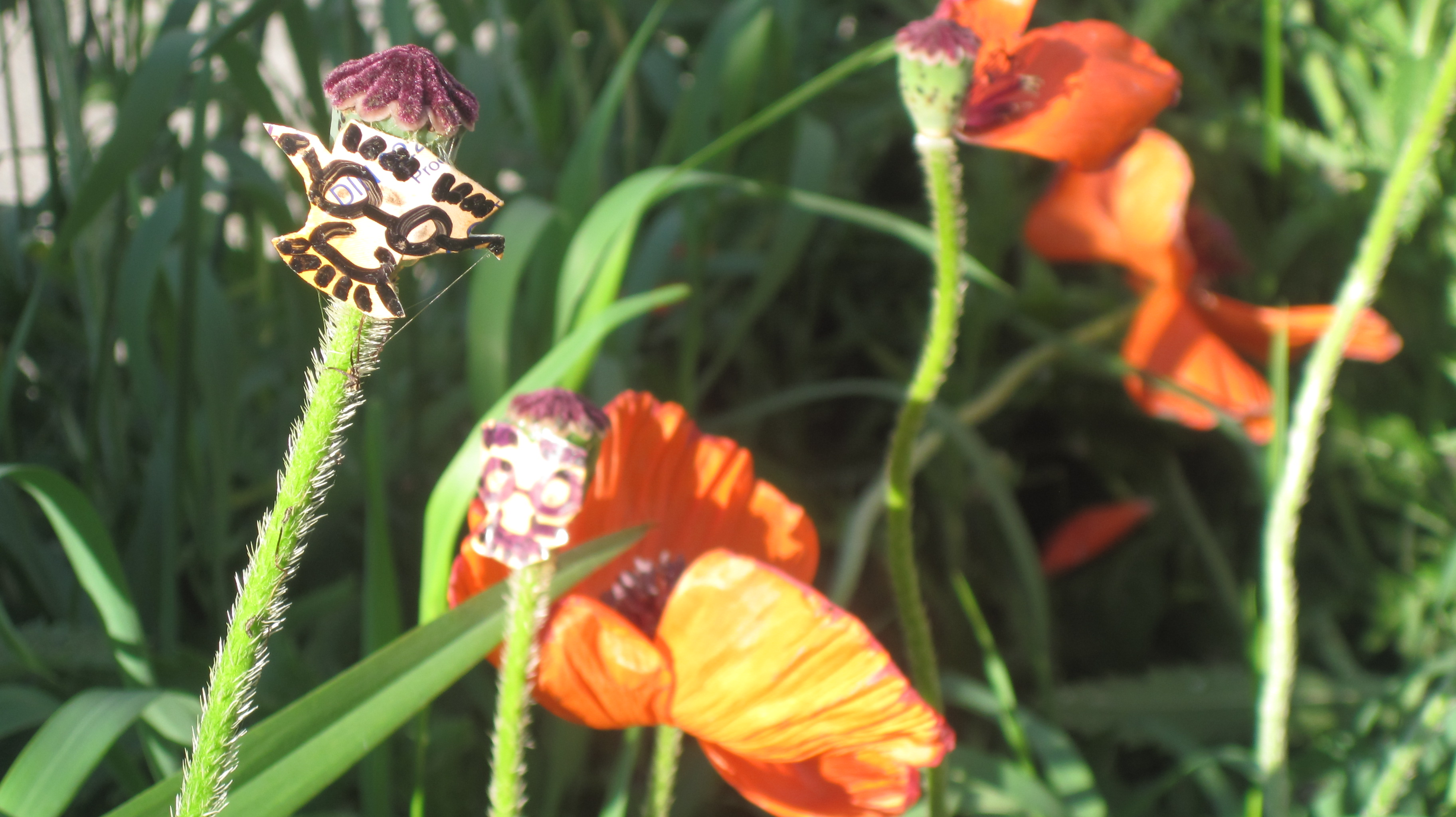 POPPIES NOT POOPIES! Inserting little Groucho Marx faces onto the seed pods