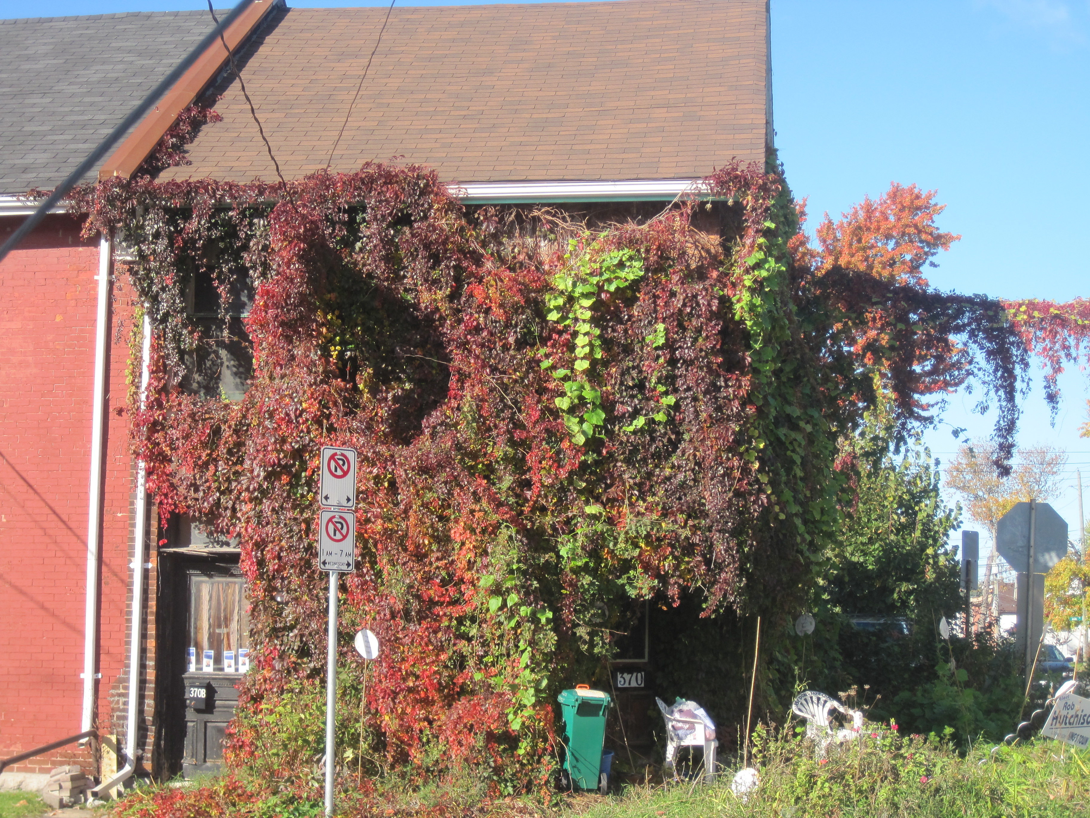 VINE IN FALL (Decidious leaf changes)