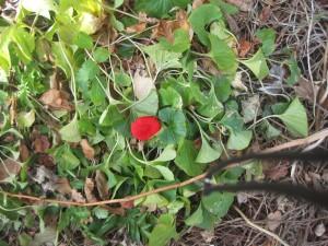 poppies 002